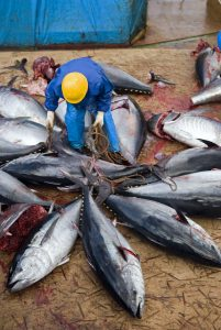 Japanese fishing ship crew cleaning Bluefin tunas