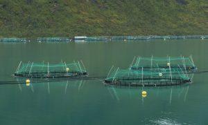 Chov lososů na farmách představuje vážný problém kromě samotných lososů i pro celý ekosystém... Foto Wikimedia Commons